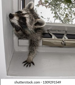 A baby raccoon trying to squeeze through an opening in a home skylight.