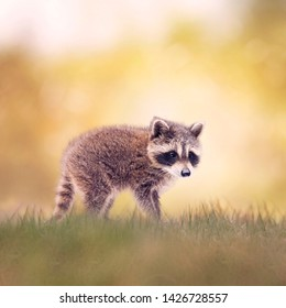 Baby Raccoon walking side view on the grass