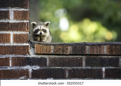 Baby Racoon With Copy Space