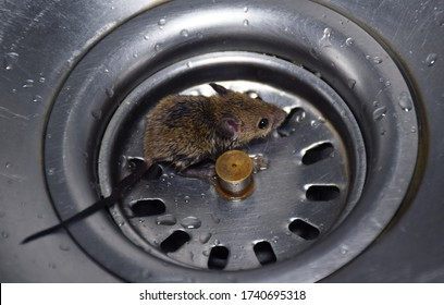A baby rat or roof rat scared and sitting in wash basin