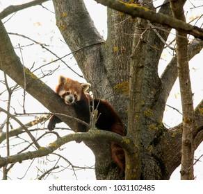 Baby red panda over a tree, horizontal image