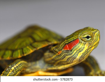 A baby red-eared slider turtle against a grey background.