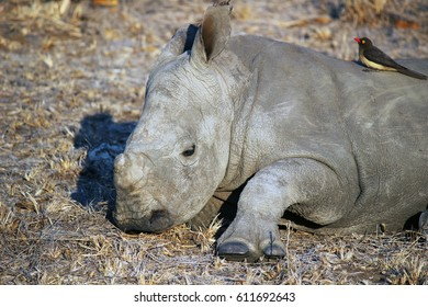 baby rhino attempting to stand
