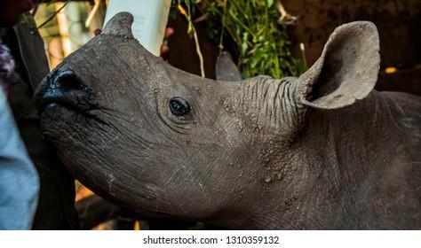 Baby rhino head close up
