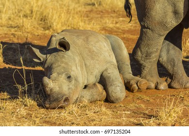 Baby rhino lying down to rest in the African bush