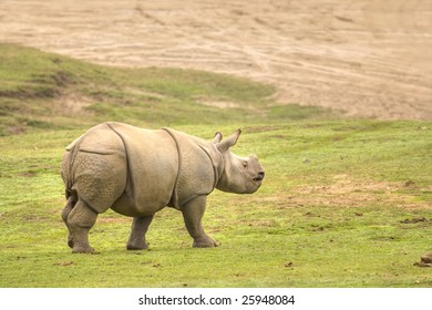 Baby Rhino Walking