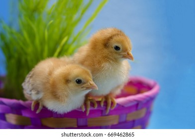 Baby Rhode Island Red chicks in a Easter basket with fresh grass and soft blue and baby pink.