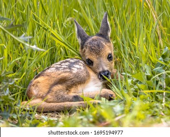 Baby roe deer (Capreolus capreolus) resting in grass on a sunny day in may. Netherlands