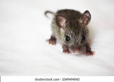Baby roof rat pet