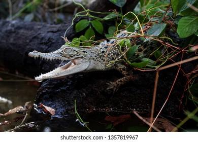 A baby Saltwater crocodile (Crocodylus porosus) in water