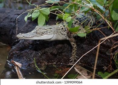 A baby Saltwater crocodile (Crocodylus porosus) at the water's edge