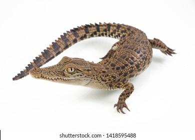 A baby Saltwater crocodile (Crocodylus porosus) isolated on white background