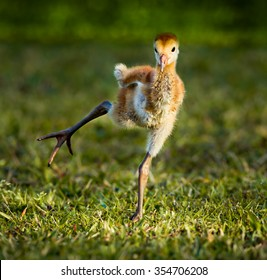 Baby sandhill crane chick practicing walking
