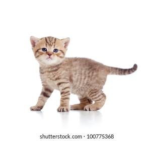 baby Scottish british kitten isolated on white background