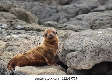 Baby Sea Lion / Galapagos Islands