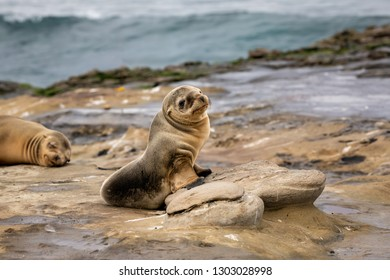 Baby Sea Lion Pup sitting on the rocks - cute face - La Jolla, San Diego, California