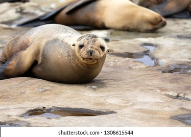 Baby Sea Lion Pup sleeping on the rocks - funny face - La Jolla, San Diego, California