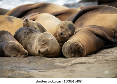 Baby Sea Lion pups sleeping on the rocks in La Jolla, San Diego, California.