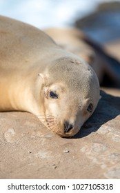 Baby Sea Lion sunbathing at the cove of La Jolla, California