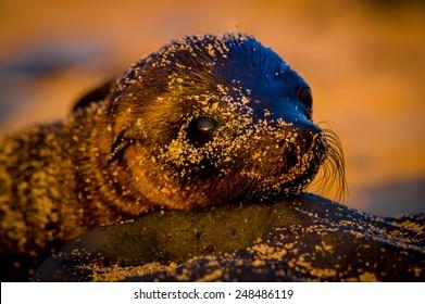 baby sea lion at sunset in galapagos islands ecuador