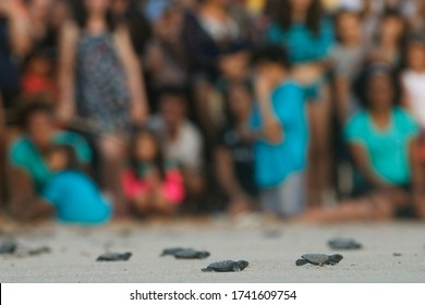 Baby sea turtle, newborn hatchling crawling. Nest at beach release by scientist and people. Hatching of endangered specie, loggerhead (caretta caretta), rescued. Vulnerable wildlife conservation.