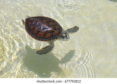 Baby Sea Turtle in a Caribbean turtle conservation tank.