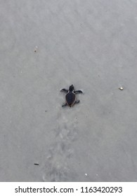 Baby sea turtle hatchling in Ponce Inlet, FL