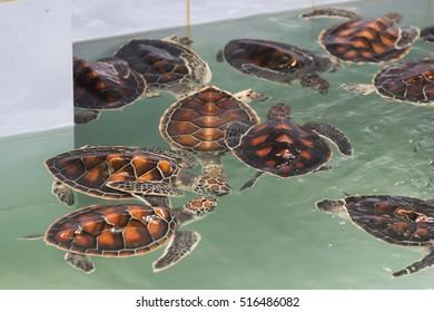 Baby Sea turtle name 's Chelonia mydas