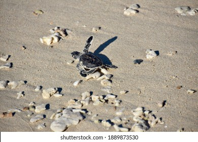 Baby Sea Turtle on Sandy Beach with Coral Fragments