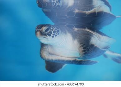 Baby sea turtle reflecting underwater.