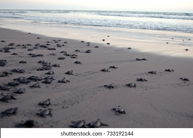 Baby sea turtle release in sea turtle conservation camp in Chiapas, Mexico.