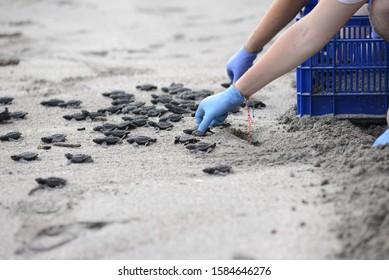 Baby Sea Turtle Release in Montezuma, Puntarenas, Costa Rica