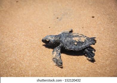 Baby sea turtle struggles to reach the sea at Praia do Forte, Bahia, Brazil.
