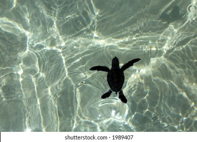 Baby sea turtle swims with water reflections underneath.