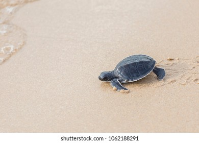 Baby sea turtle walks in the sand towards the ocean following its instincts.