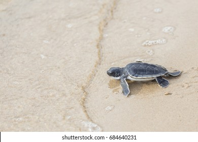 Baby sea turtle walks in the sand towards the ocean following it's instincts. Only 1 in 1,000 hatchlings will survive to adulthood. To help raise awareness for turtles around the world.