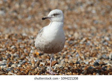 Baby Gull Images, Stock Photos & Vectors | Shutterstock