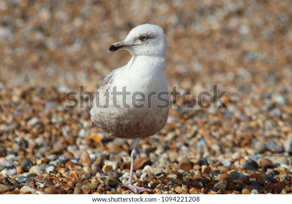 Baby Seagull On Beach Stock Photo (Edit Now) 1094221208