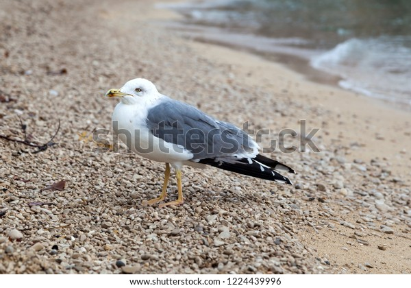 Baby Seagull On Beach Stock Photo (Edit Now) 1224439996