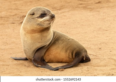 Baby Seal at Cape Cross seal colony in Namibia