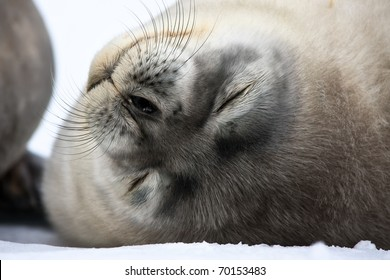 Baby seal close to mom. Antarctica