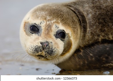 Baby Seal. Helgoland Germany.
