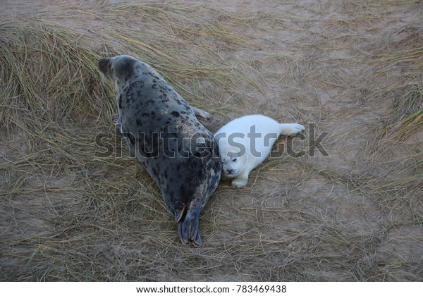 Baby seal with mother on beach