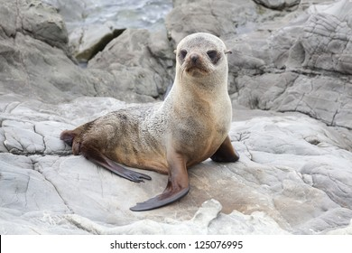 Baby seal on the rocks of Kaikoura along the SH1 in New Zealand
