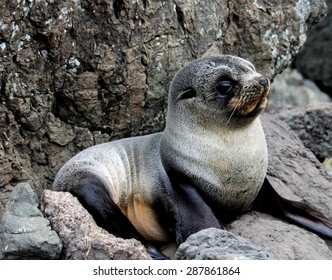Baby seal pup lying on rocks