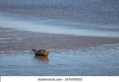 baby seal relaxing on island Norderney, travel Wattenmeer germany