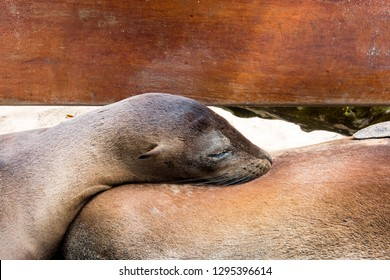 A baby sealion nurses on a bench in the Galapagos