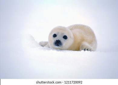 Baby seals in the snow