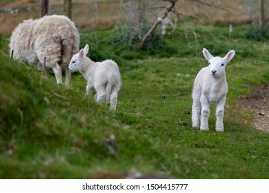 Baby sheep exploring the green fields of Scotland