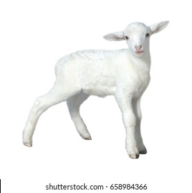 Baby sheep kid isolated